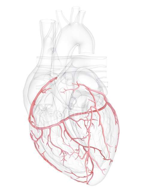 Corazón humano con arterias coronarias, ilustración digital . - foto de stock