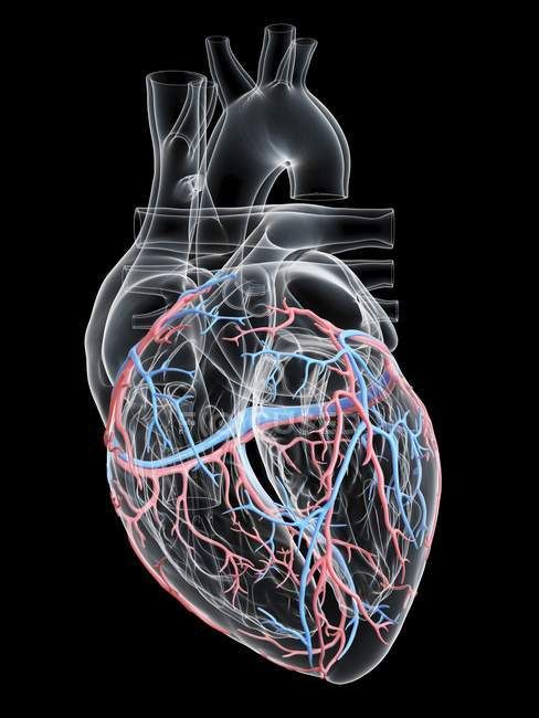 Human heart with coronary blood vessels, digital illustration. — Stock Photo