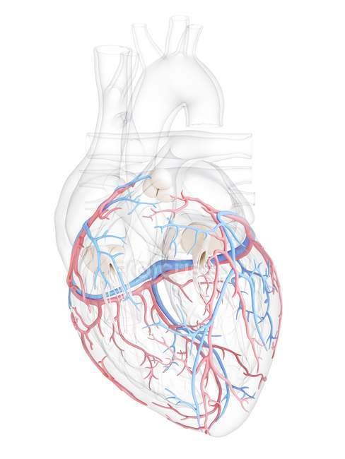Corazón humano con vasos sanguíneos coronarios, ilustración digital . - foto de stock