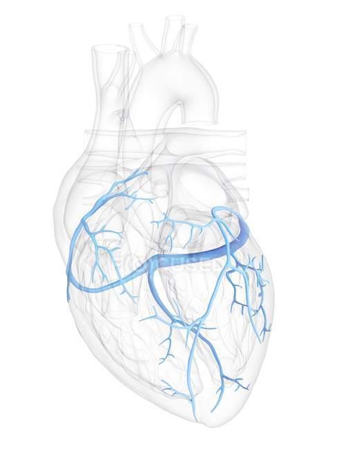 Coeur humain avec veines coronaires, illustration numérique . — Photo de stock
