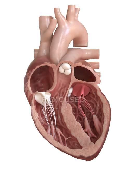 Anatomía del corazón humano que muestra válvulas, ilustración de sección transversal . - foto de stock
