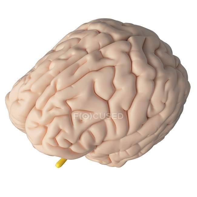 Cérebro humano realista sobre fundo branco, ilustração digital . — Fotografia de Stock