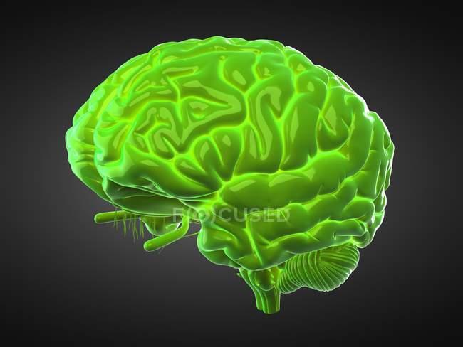 Cerebro humano verde sobre fondo negro, ilustración digital . - foto de stock