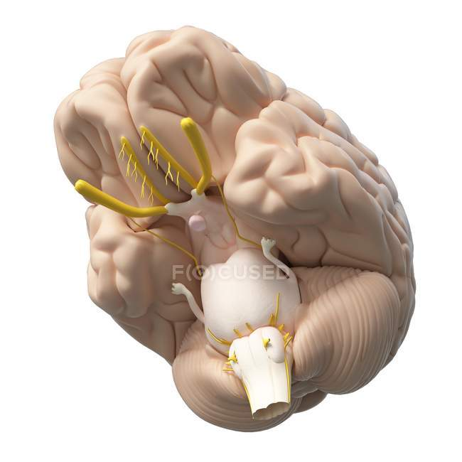 Realistic human brain on white background, digital illustration. — Stock Photo