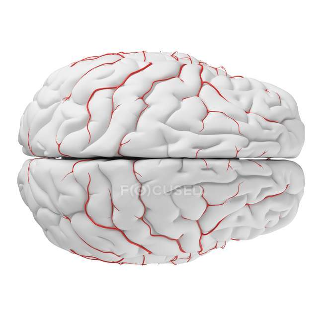 System of human brain arteries on white background, digital illustration. — Stock Photo