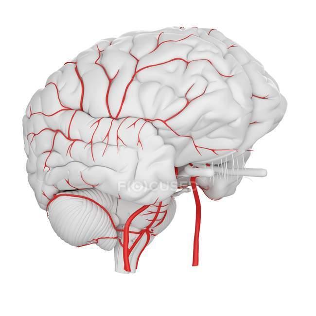 Sistema de arterias cerebrales humanas sobre fondo blanco, ilustración digital . - foto de stock