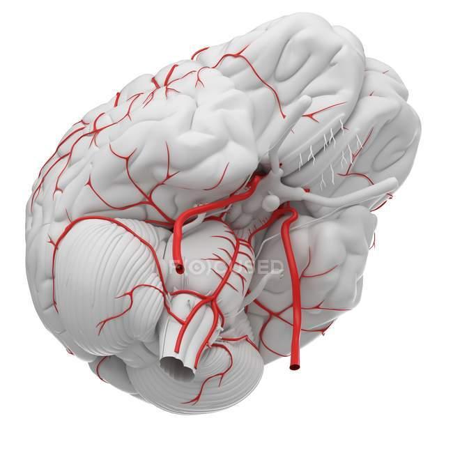 System of human brain arteries on white background, digital illustration. — Stock Photo