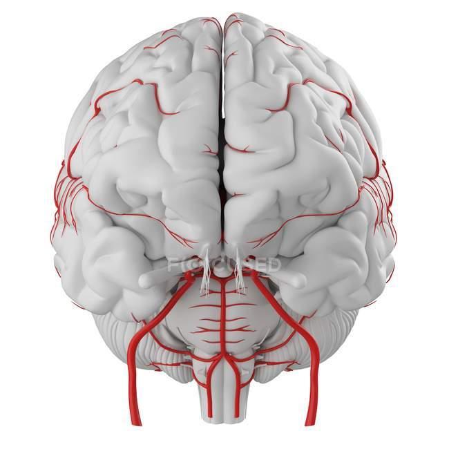 Sistema de artérias cerebrais humanas sobre fundo branco, ilustração digital . — Fotografia de Stock