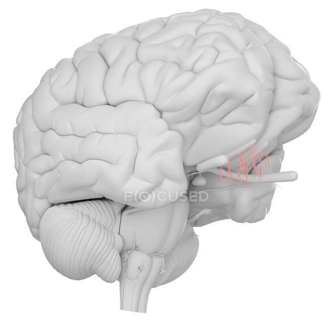 Human brain with visible olfactory nerve on white background, digital illustration. — Stock Photo