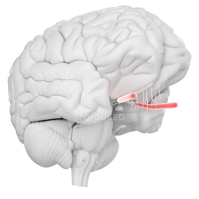 Human brain with visible optic nerve on white background, digital illustration. — Stock Photo