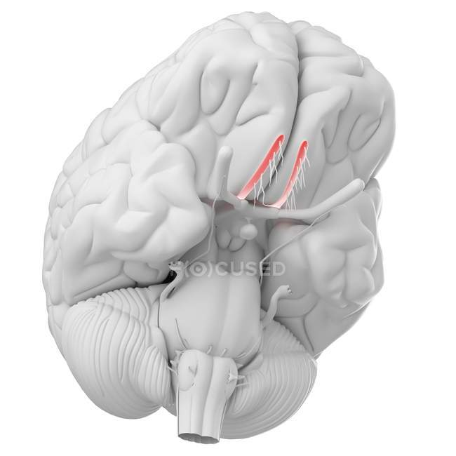 Cerebro humano con nervio olfativo visible sobre fondo blanco, ilustración digital . - foto de stock