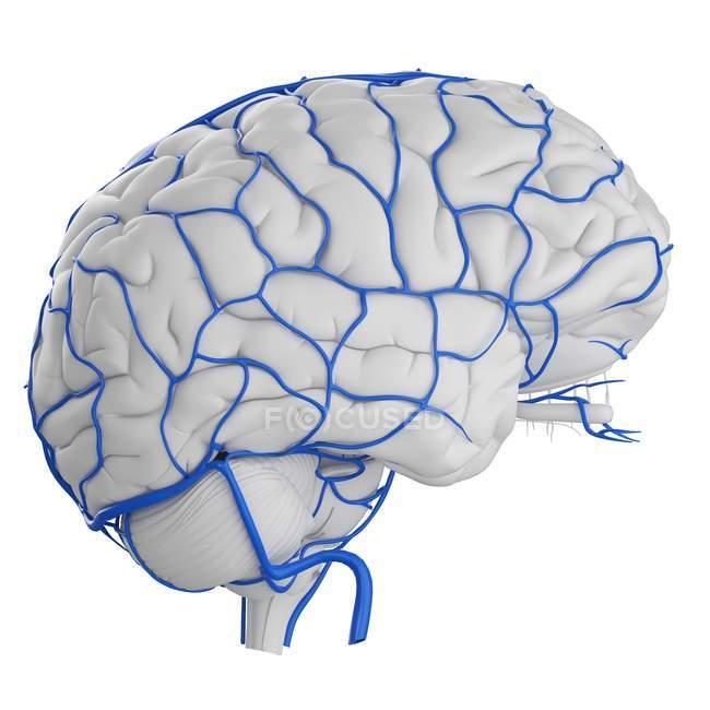 System of human brain veins on white background, digital illustration. — Stock Photo