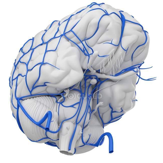 Sistema de venas cerebrales humanas sobre fondo blanco, ilustración digital . - foto de stock