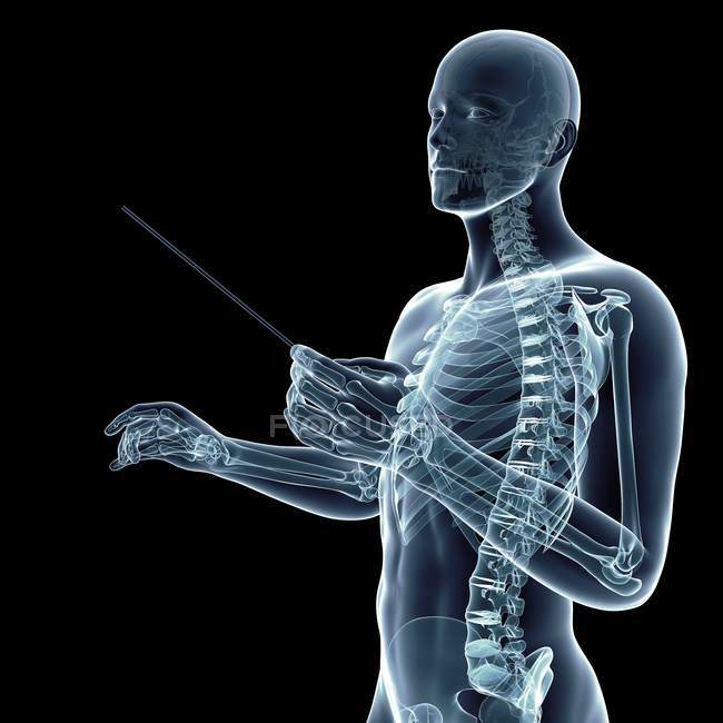 Skeletal system of conductor, digital illustration. — Stock Photo