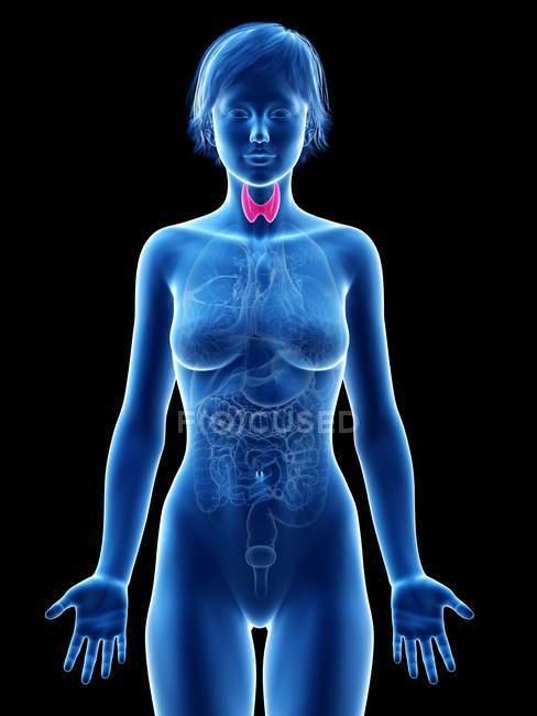 Silueta femenina con glándula tiroides visible, ilustración digital . - foto de stock