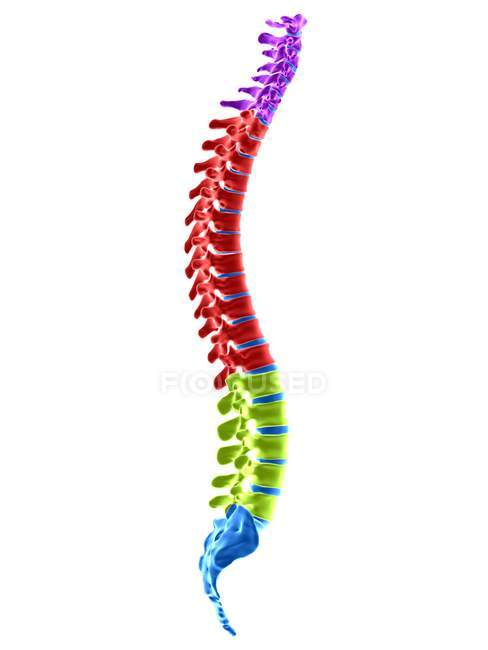 Human spinal sections, digital illustration. — Stock Photo
