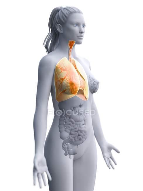 Modelo anatômico feminino com pulmões amarelos coloridos e visíveis, ilustração computacional . — Fotografia de Stock