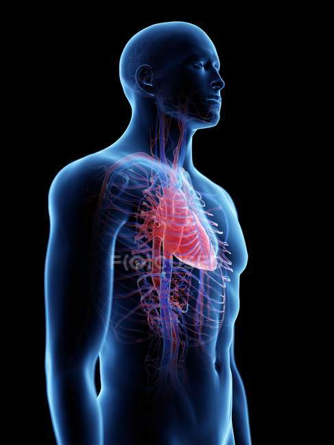Cardiovascular system in male body, computer illustration. — Stock Photo