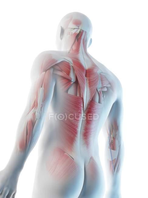 Männliche Rückenmuskulatur, Tiefansicht, Computerillustration. — Stockfoto