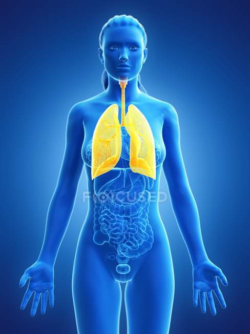 Female anatomical model with yellow colored and visible lungs, computer illustration. — Stock Photo
