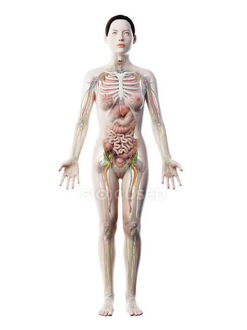 Modèle du corps humain montrant l'anatomie féminine avec des organes internes, illustration numérique de rendu 3D . — Photo de stock