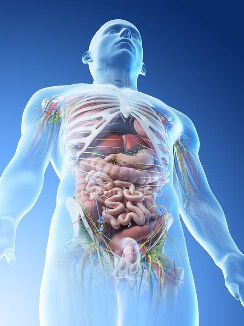 Anatomie du haut du corps mâle et organes internes en vue basse, illustration par ordinateur . — Photo de stock