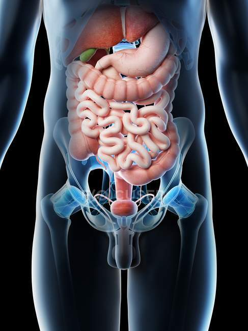 Órganos abdominales masculinos, sección media, ilustración digital . - foto de stock