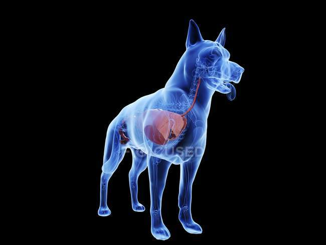 Dog anatomy with visible organs on black background, digital illustration. — Stock Photo