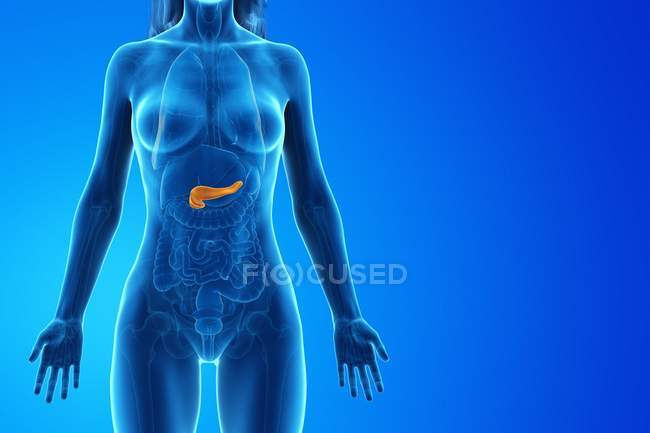 Colored pancreas in anatomical female model, digital illustration. — Stock Photo