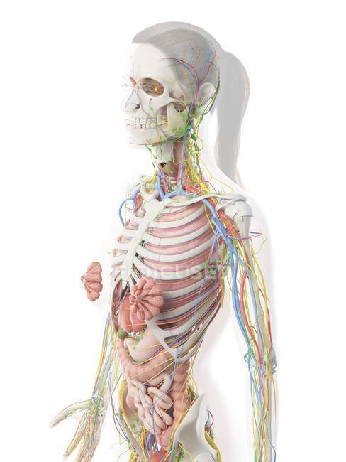 Female upper body anatomy and internal organs, computer illustration. — Stock Photo