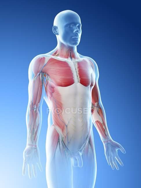Anatomía y musculatura de la parte superior del cuerpo masculino, ilustración por computadora . - foto de stock