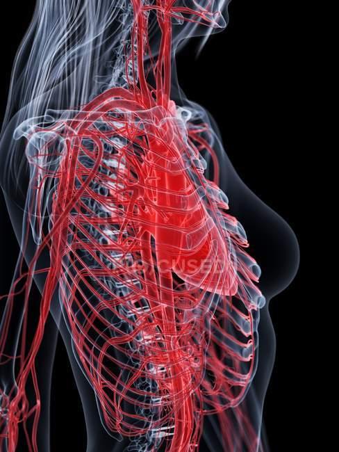 Cuerpo femenino con sistema vascular visible, ilustración digital . - foto de stock