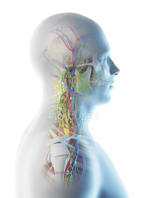 Anatomia della testa e del collo maschile, illustrazione digitale. — Foto stock