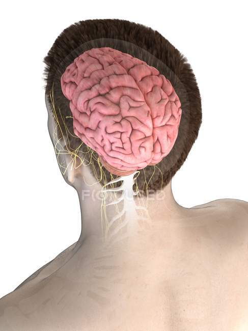 Anatomy of male body with visible brain, digital illustration. — Stock Photo