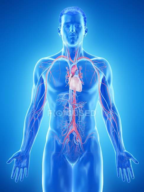 Male body with visible vascular system, computer illustration. — Stock Photo