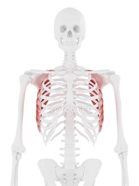 Esqueleto humano con músculo anterior Serratus de color rojo, ilustración digital . - foto de stock