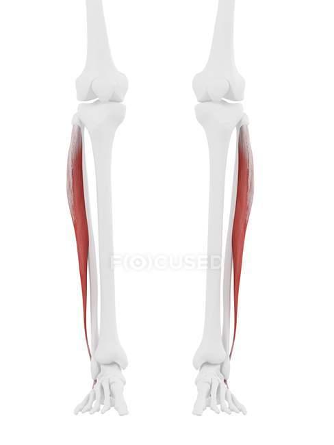 Esqueleto humano con músculo largo de color rojo Peroneus, ilustración digital . - foto de stock