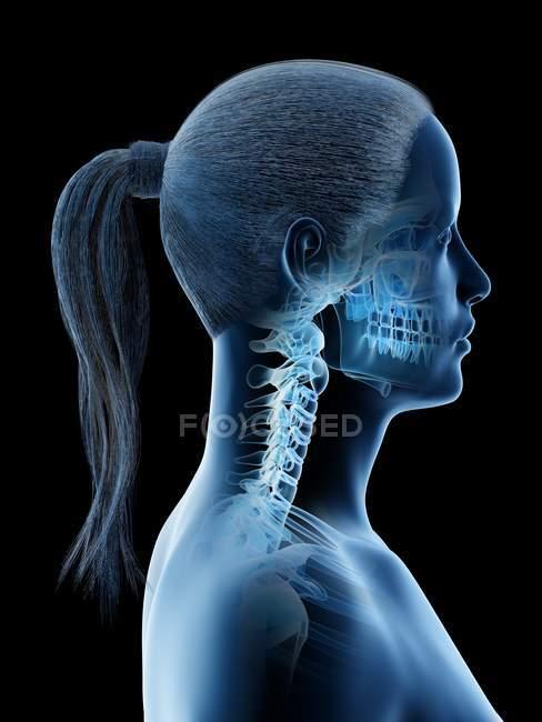 Anatomía y esqueleto de cabeza y cuello femenino, ilustración por computadora . - foto de stock