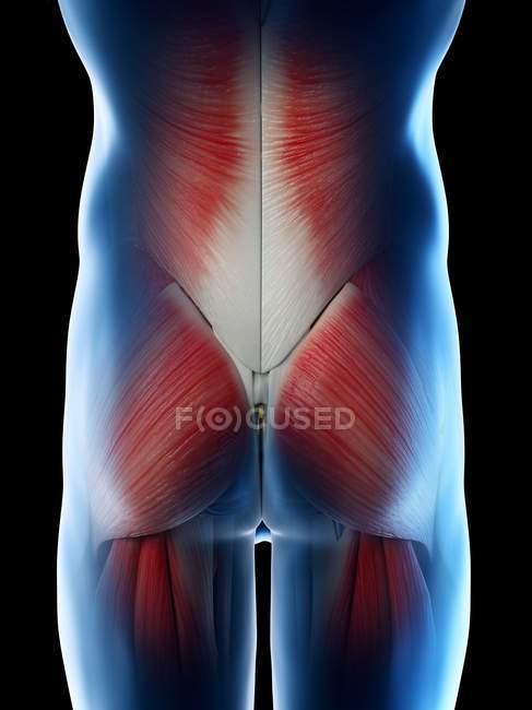 Caderas y glúteos masculinos músculos, ilustración por computadora . - foto de stock