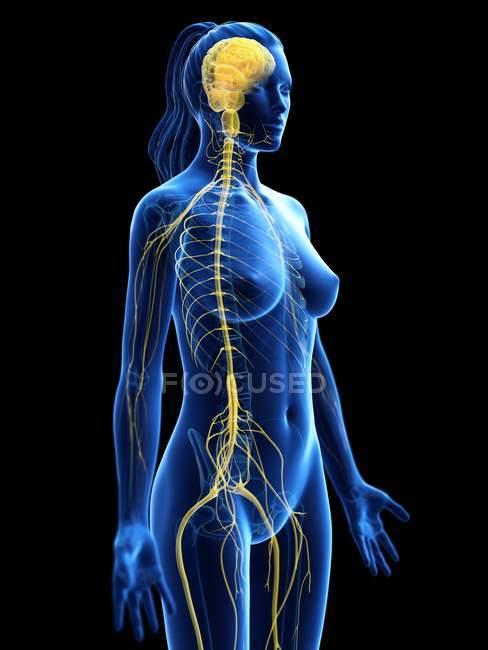Silueta femenina abstracta con cerebro visible y médula espinal del sistema nervioso, ilustración por ordenador . - foto de stock