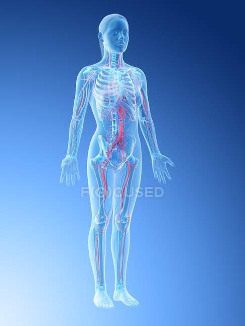 Female anatomy showing vascular system, digital illustration. — Stock Photo