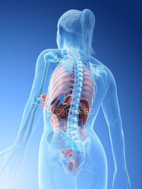 Human body model showing female anatomy with internal organs in rear view, digital 3d render illustration. — Stock Photo