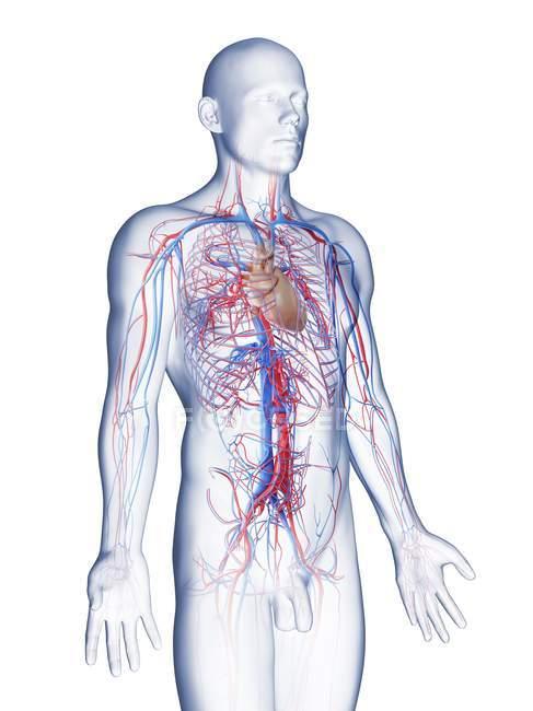 Мужская анатомия с сосудистой системой, компьютерная иллюстрация . — стоковое фото