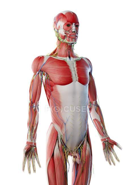Male upper body anatomy and musculature, computer illustration. — Stock Photo