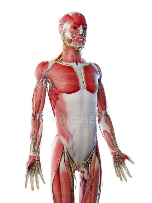 Anatomia e musculatura da parte superior do corpo masculino, ilustração computacional . — Fotografia de Stock