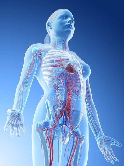 Sistema vascolare della parte superiore del corpo femminile, illustrazione del computer . — Foto stock