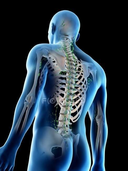 Cuerpo masculino anatómico mostrando esqueleto y sistema linfático, ilustración digital . - foto de stock