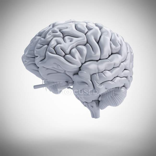 Modelo de cerebro humano blanco sobre fondo liso, ilustración digital . - foto de stock