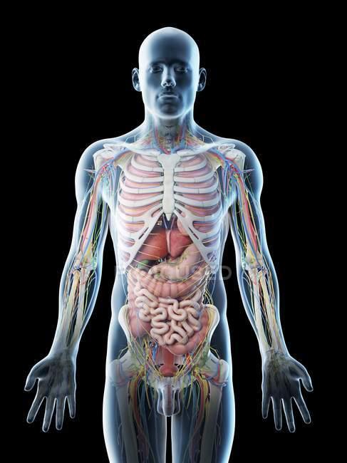 Anatomia da parte superior do corpo masculino e órgãos internos, ilustração computacional . — Fotografia de Stock