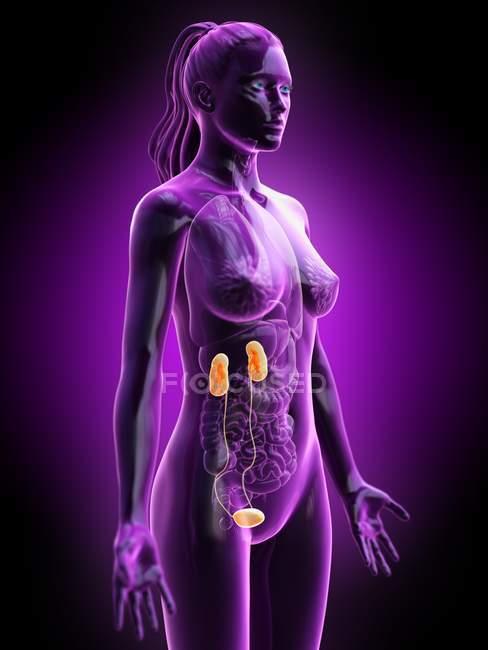 Silhueta feminina com sistema urinário visível, ilustração digital . — Fotografia de Stock